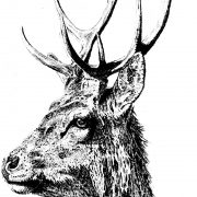imperial-stag-scale-3
