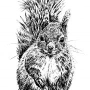 Red Squirrel 3 b&w