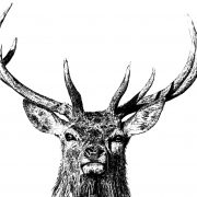 Majestic Stag Scale 7